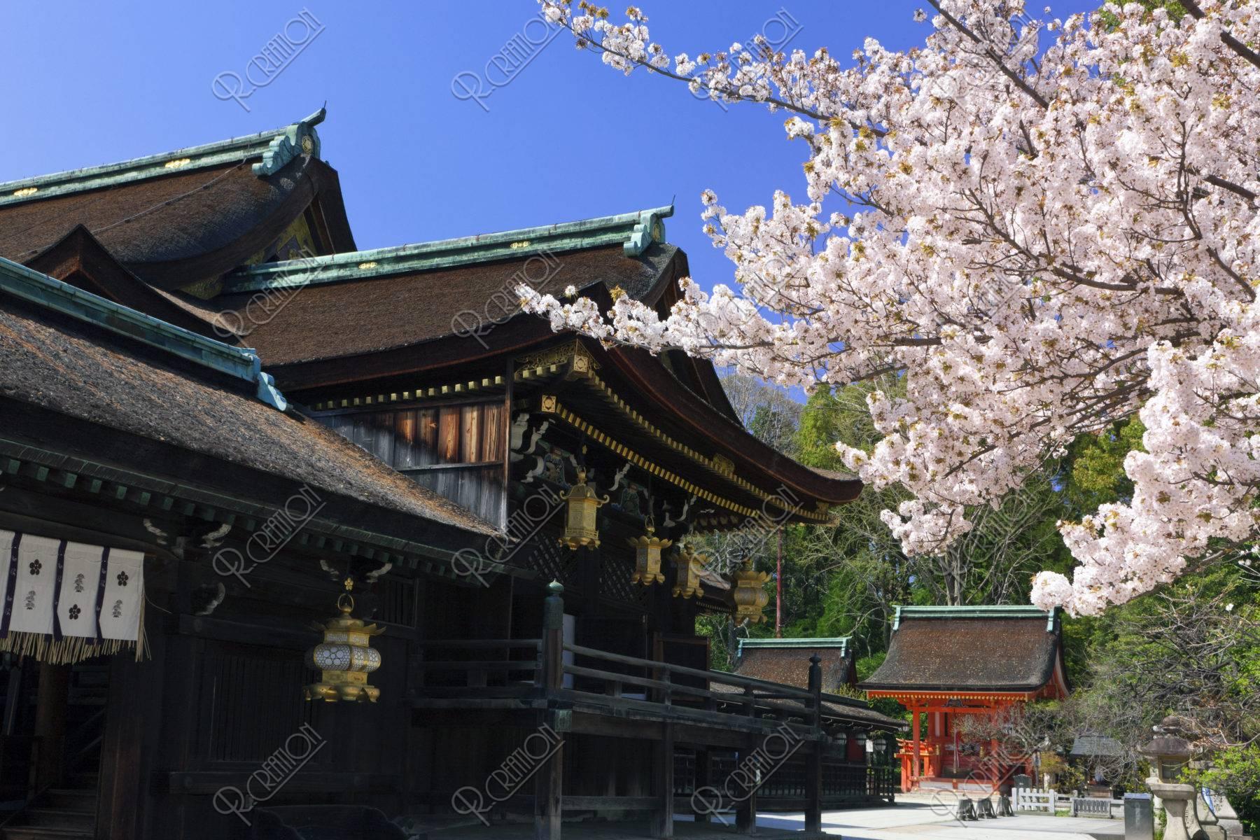 北野天満宮 桜