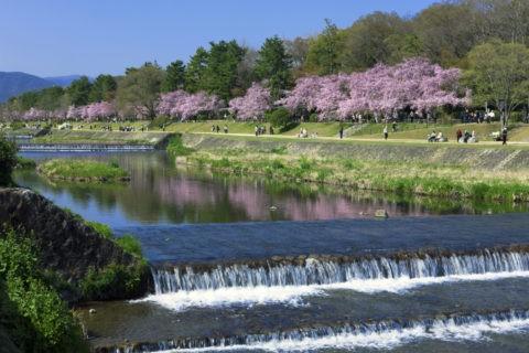 賀茂川 半木の道と桜