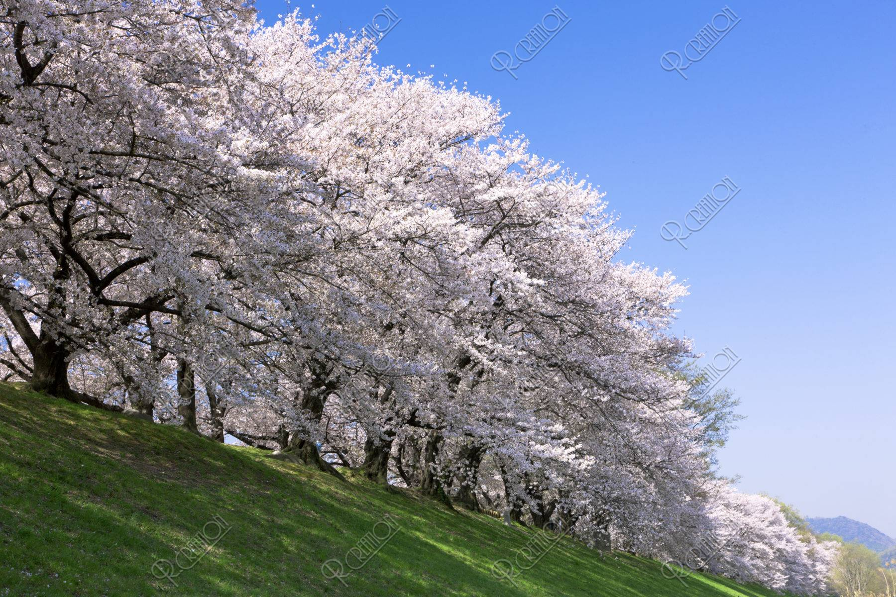 背割堤 桜