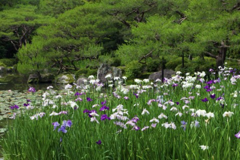 ショウブ咲く平安神宮