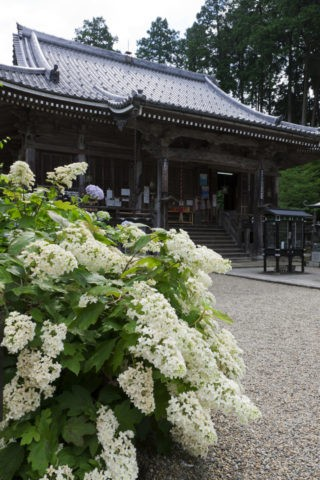 観音寺 カシワバアジサイ