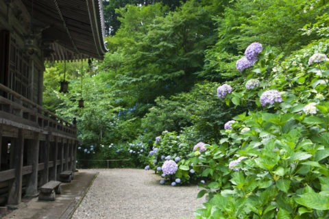 アジサイ咲く観音寺