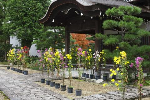法金剛院 嵯峨菊
