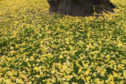 銀杏 落ち葉