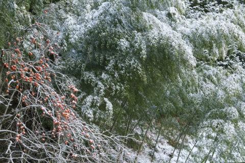 雪の竹林と柿