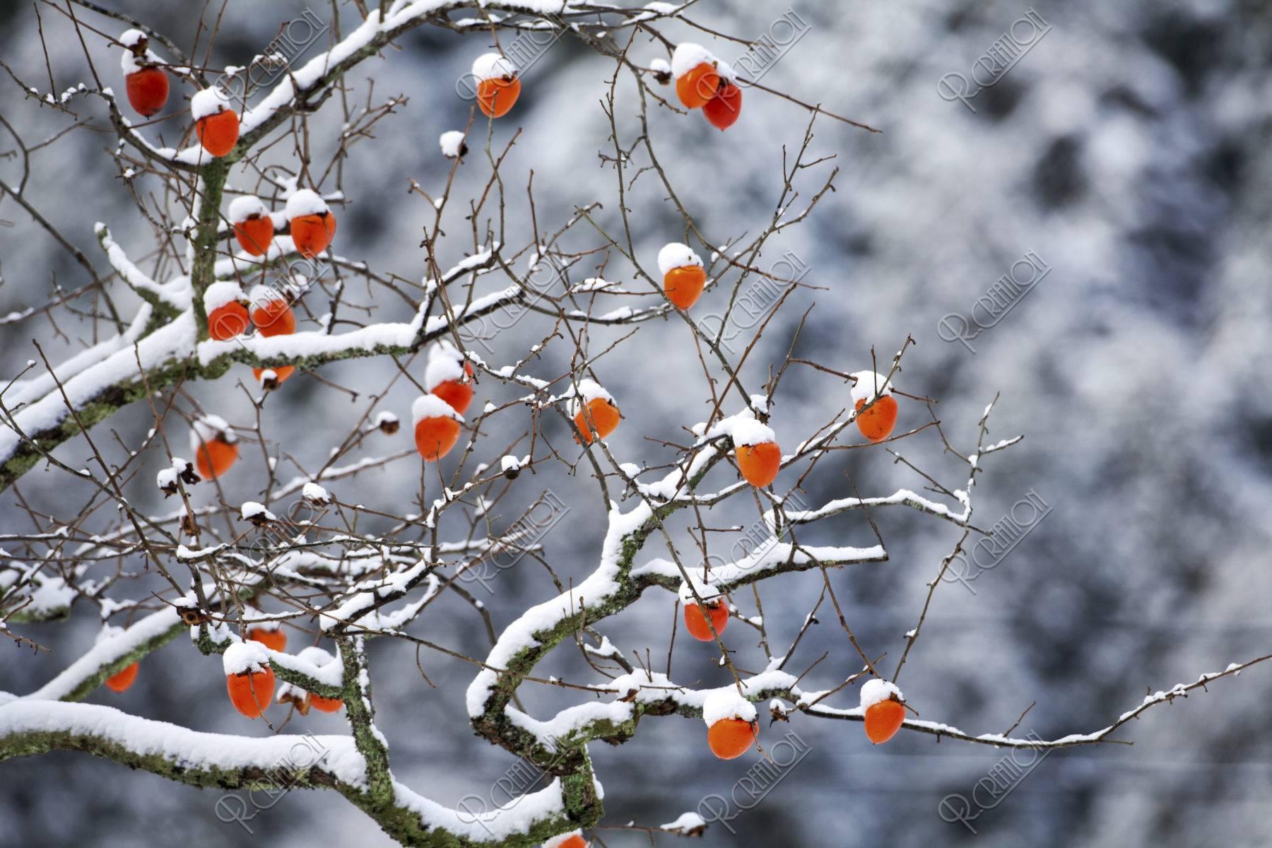 雪積もる柿