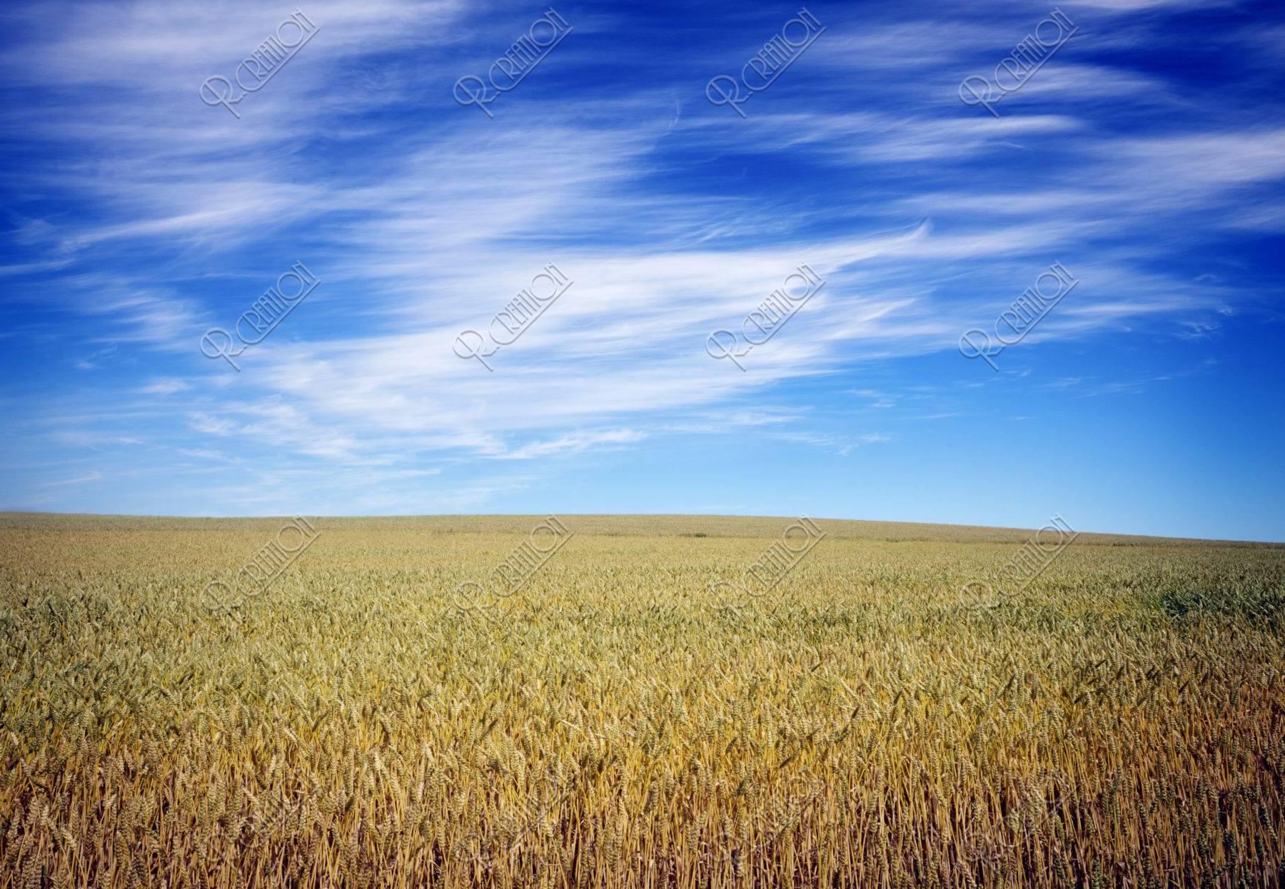 麦畑と筋雲