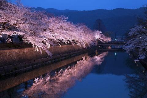 岡崎 疎水の夜桜