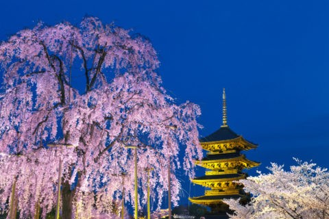 東寺 夜桜