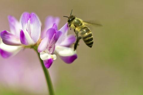 ミツバチ レンゲ