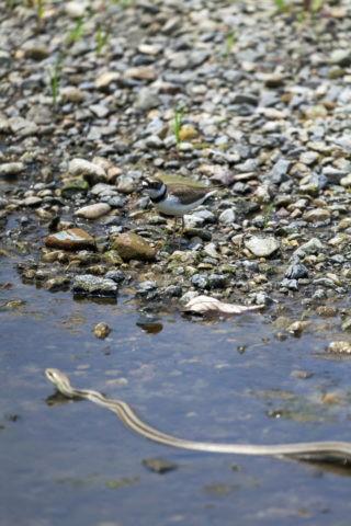 コチドリ シマヘビ
