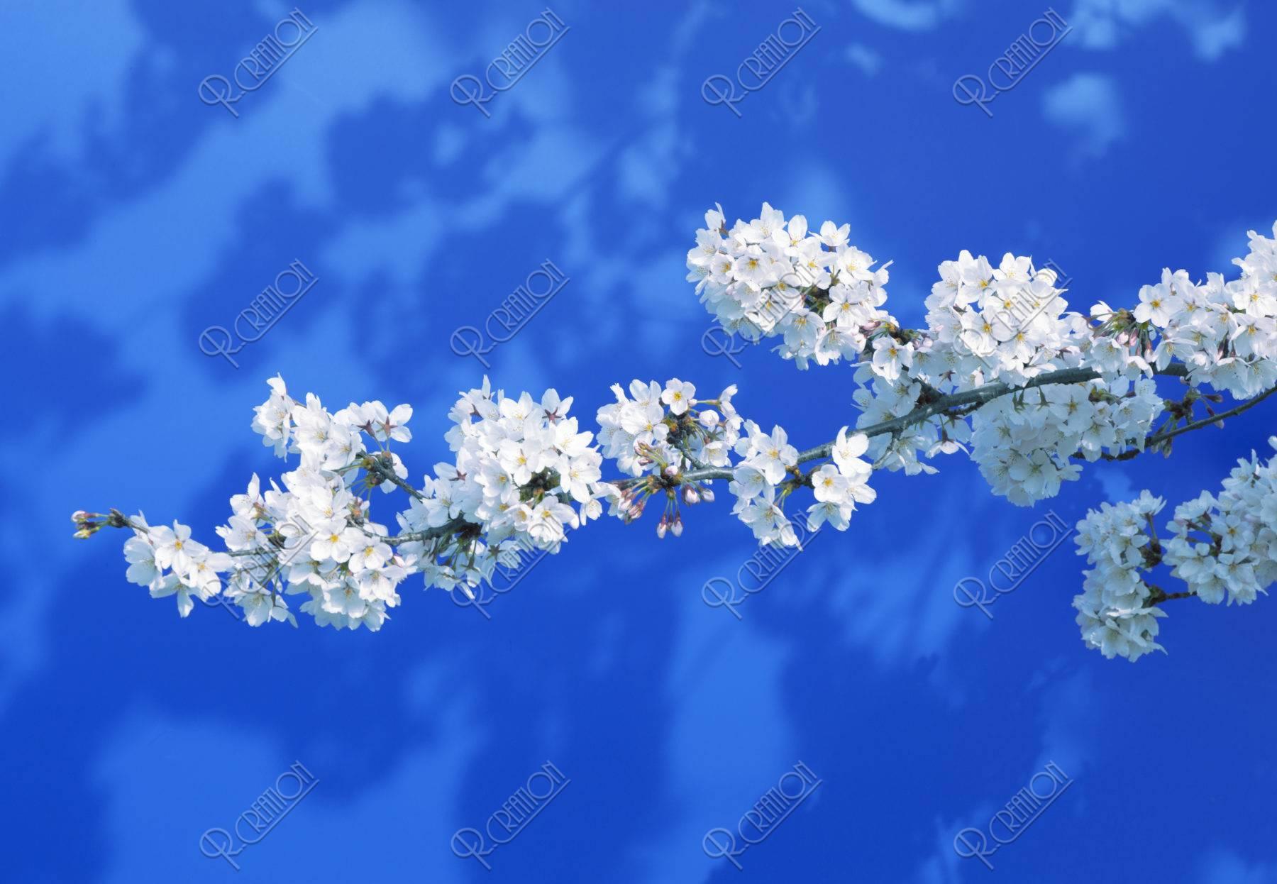 青背景に一本の桜の枝