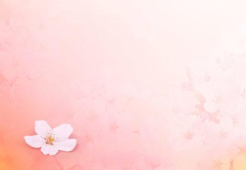 ピンク背景に一輪の桜