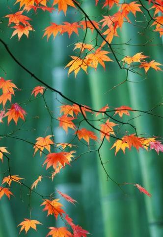 竹林を背景に紅葉のもみじ