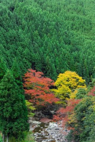 北山杉 紅葉