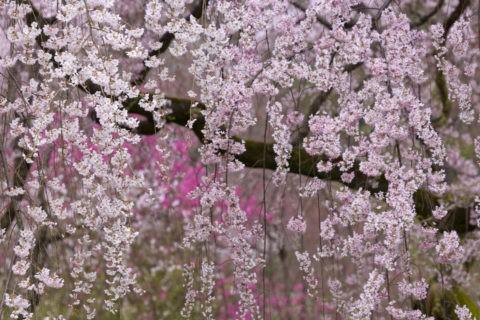 近衛邸跡 枝垂れ桜