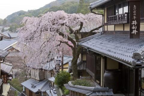 産寧坂 桜