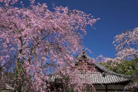 宇治恵心院 桜