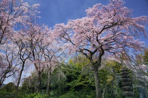 籐右衛門邸 桜