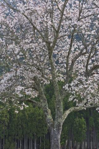 北山杉 桜