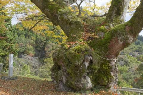 大樹 ケヤキ