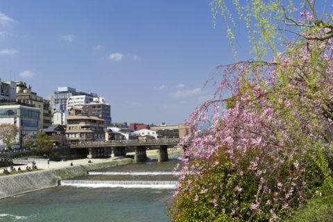 三条大橋 桜