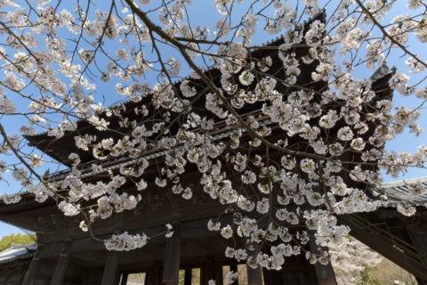 南禅寺三門 桜