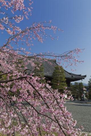 嵯峨釈迦堂 桜