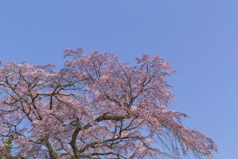 佐野藤右衛門邸 桜