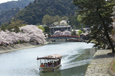 宇治川 桜