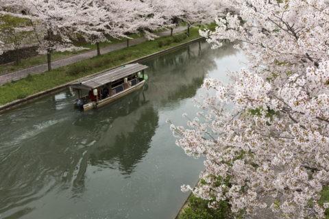 伏見十石舟 桜