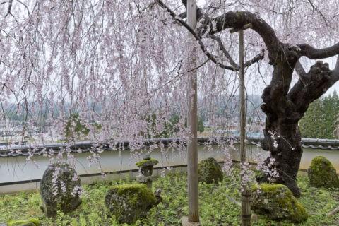 京北福徳寺 桜