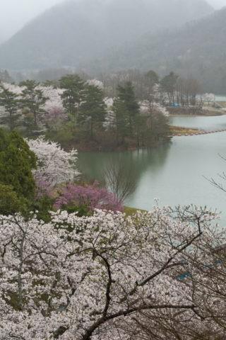 美山大野ダム 桜