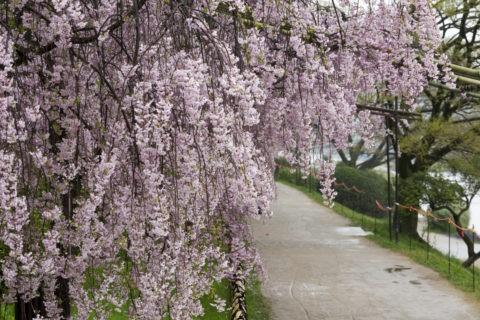 半木の道 桜並木