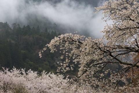 大原 靄と桜並木