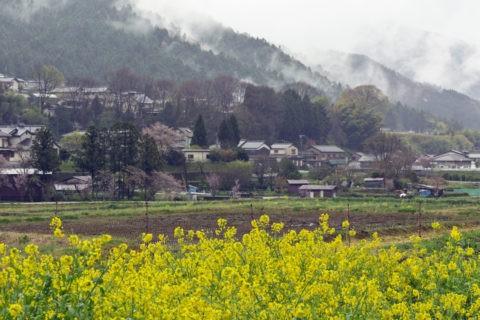 大原 菜の花