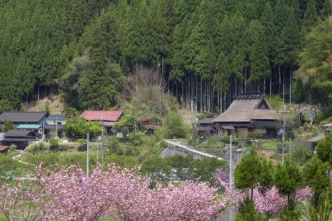 茅葺き民家と桜