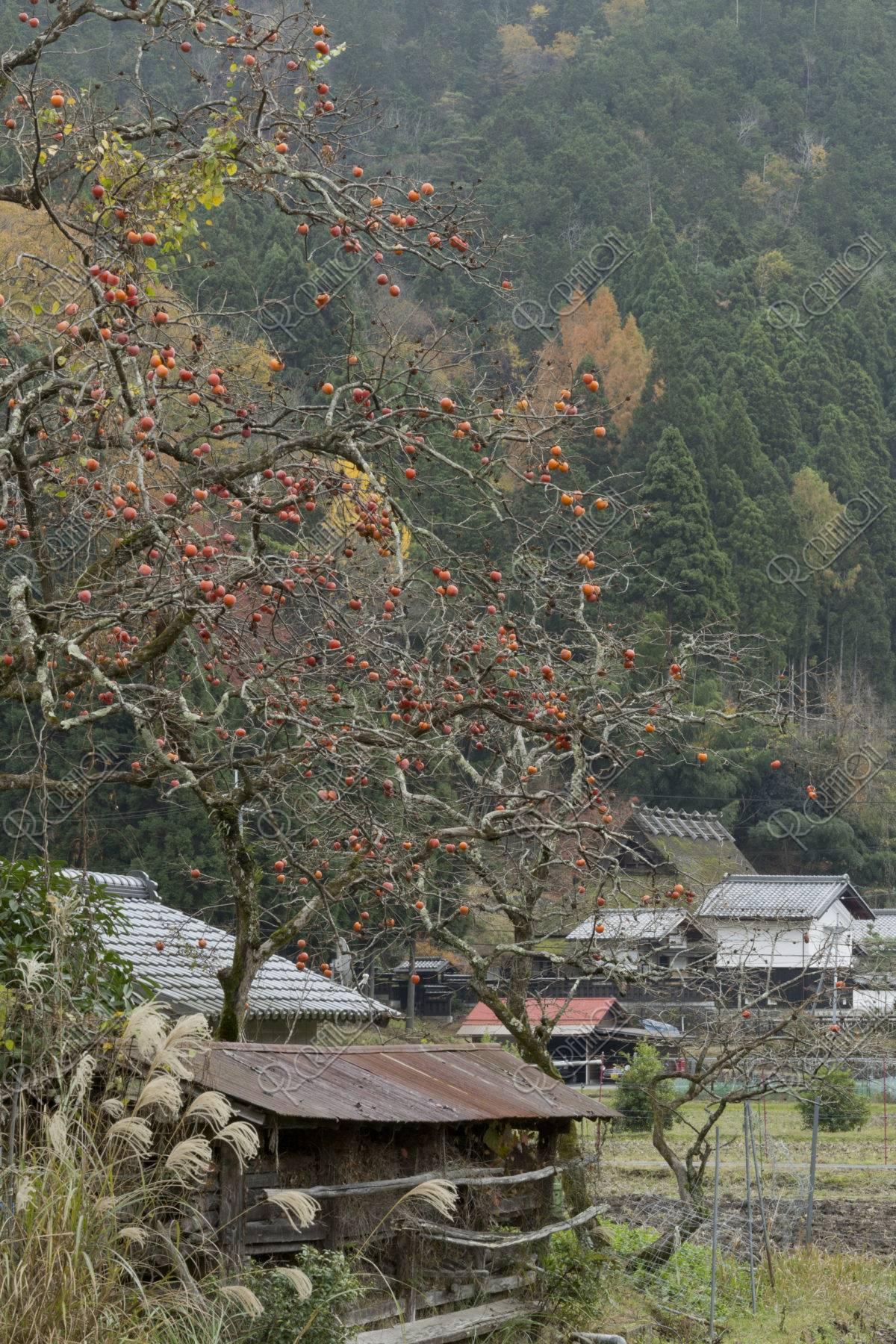 柿と北山杉