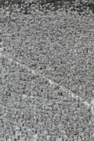 雪の北山台杉