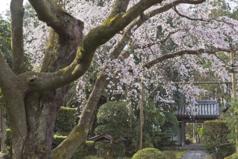 西迎寺 桜