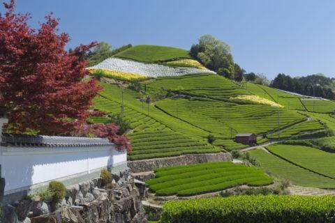白壁と茶畑