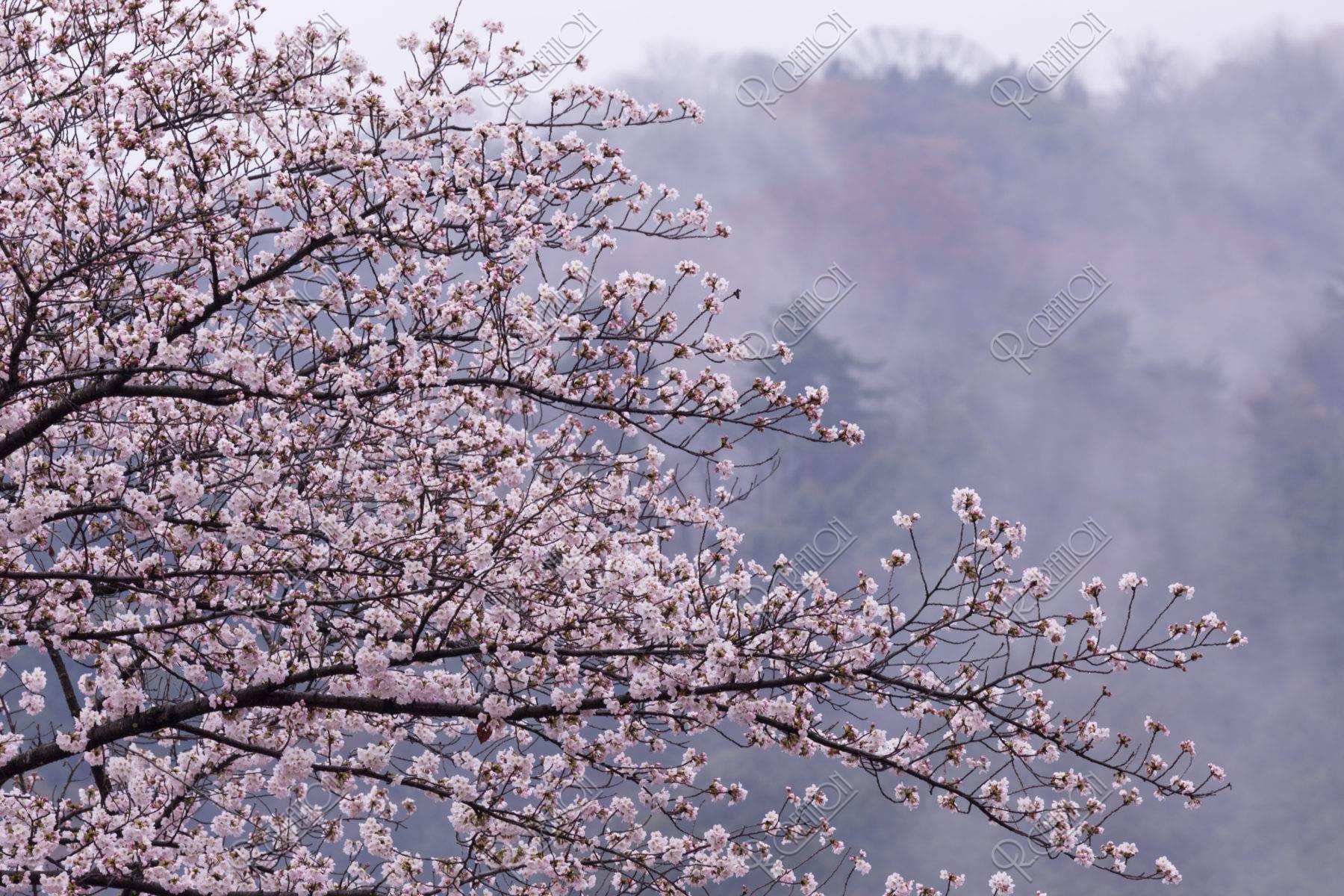 東山と桜と霞