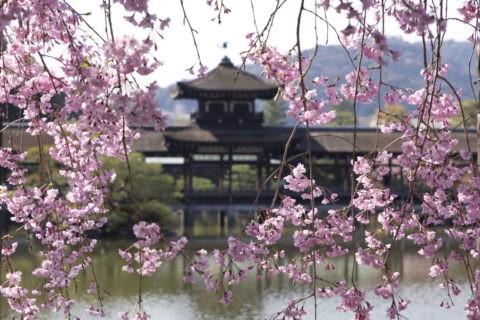 平安神宮 枝垂桜と橋殿