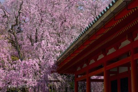 平安神宮 枝垂桜と回廊