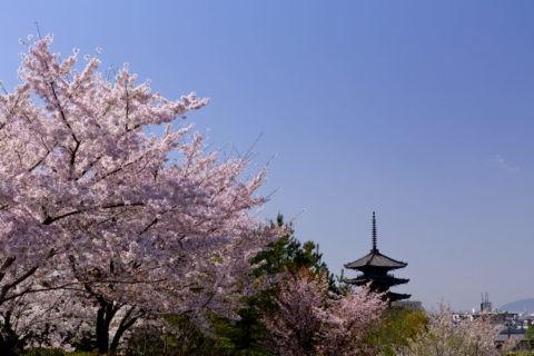 八坂の塔 桜