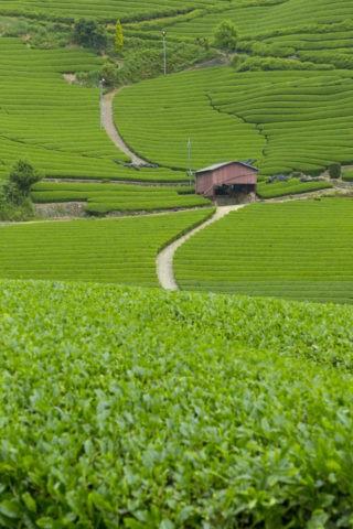 和束町 茶畑