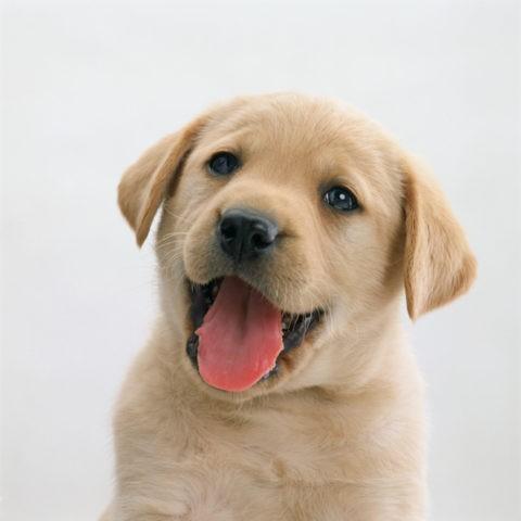 ラプラドル犬の仔犬