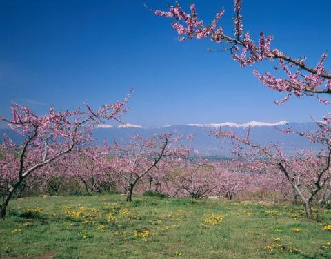桃畑と南アルプス