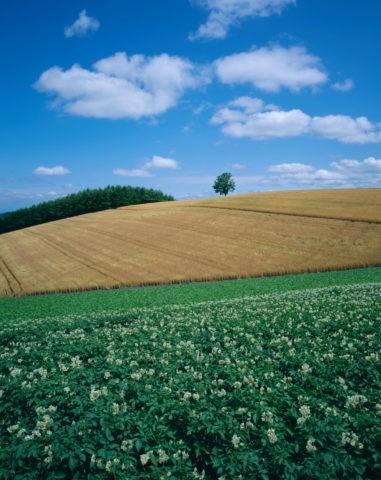 美瑛 花咲くジャガイモ畑と麦畑 北海道