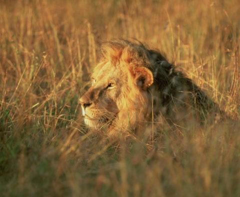 ライオンの雄 ケニア マサイマラ